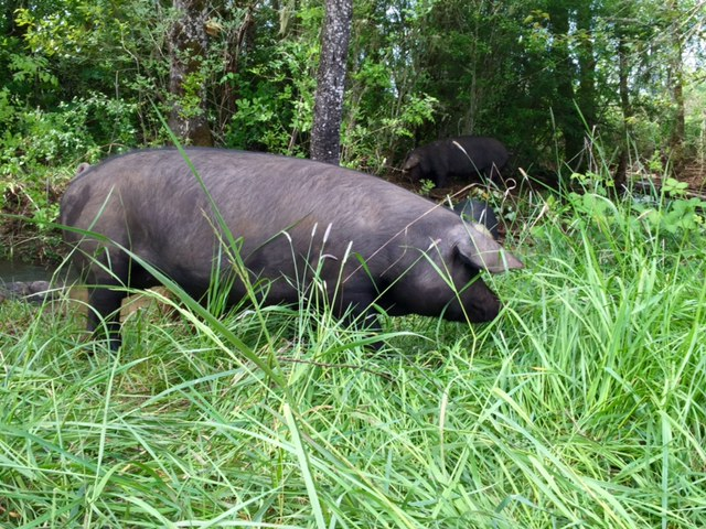 pig raised using pasture based agriculture by OPN member Mount Hope Heritage Farm