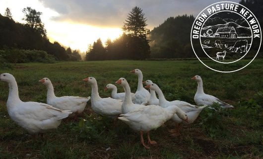 Pasture raised geese from OPN Member Nehalem River Ranch